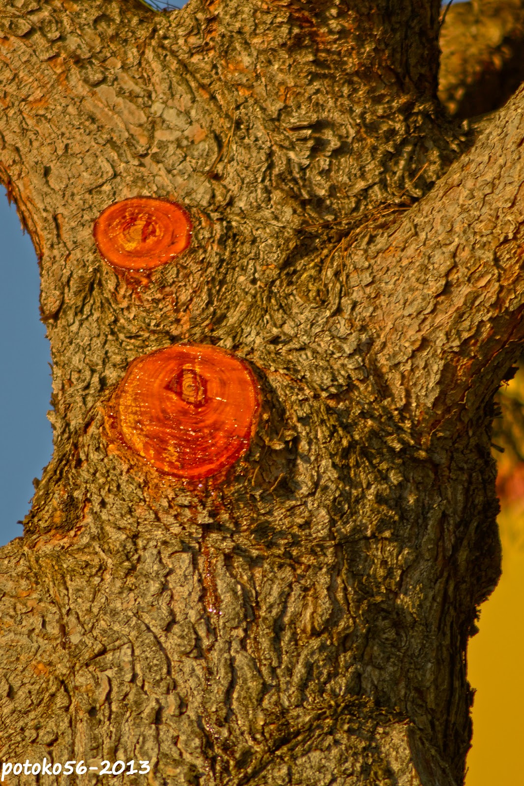 Tronco de pino en Rota