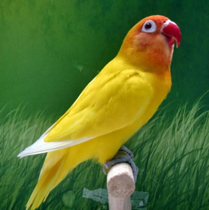 Foto Burung Lovebird Albino Terbaik