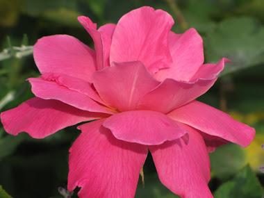 Perfume Pink Rose