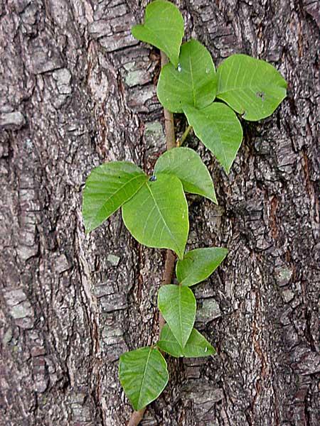 poison oak pictures on skin. poison oak ivy sumac. poison