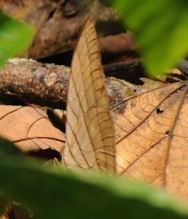 Striped Palm King or Koh-i-noor (Amathuxidia amythaon)
