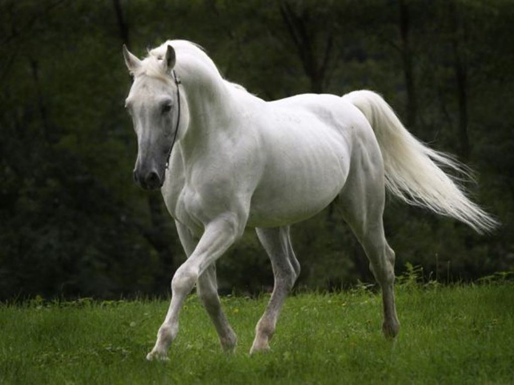 Wallpaper of White Horse