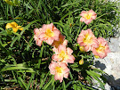 "Daylily ""Timeless Grace"""