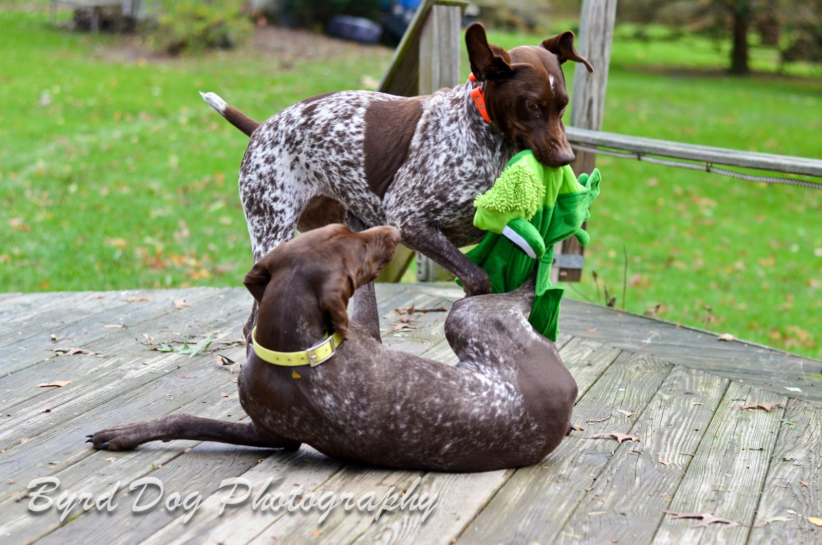 Adventures of a GSP Hunting Dog: The Second Dog Conundrum