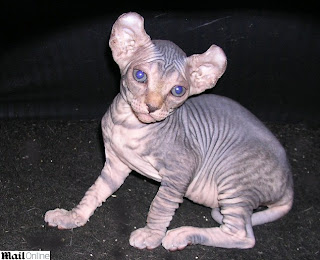 Nova raça de gato ganhou o nome de 'O Elfo' em referência a Dobby | Ordem da Fênix Brasileira