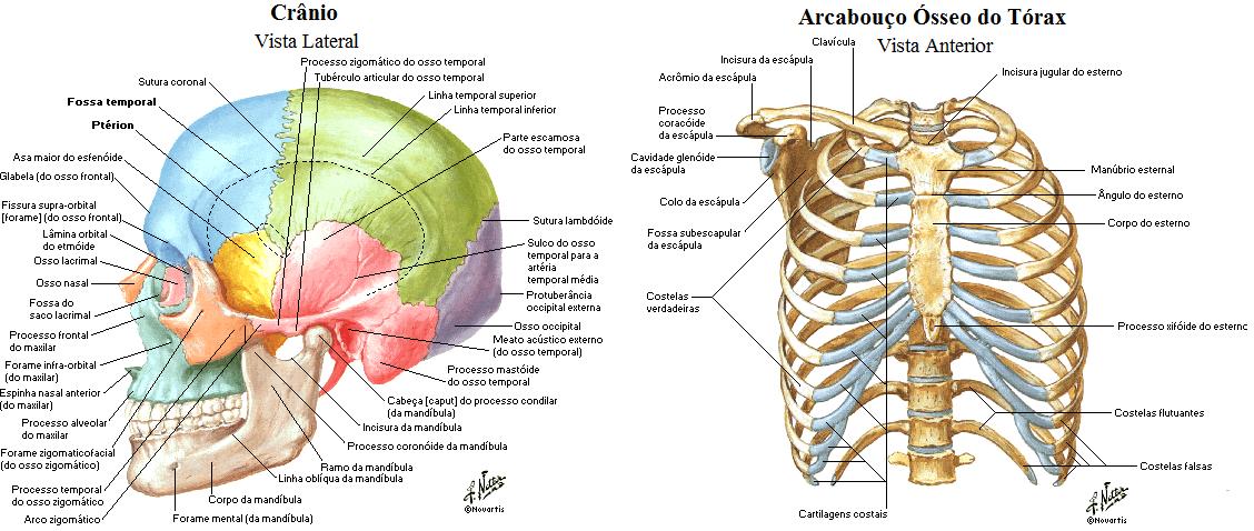 Sistema locomotor esqueleto overview sa de do futuro for O osso esterno e dividido em