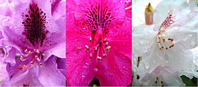 kwitnące fioletowe różowe i białe rododendrony w ogrodzie