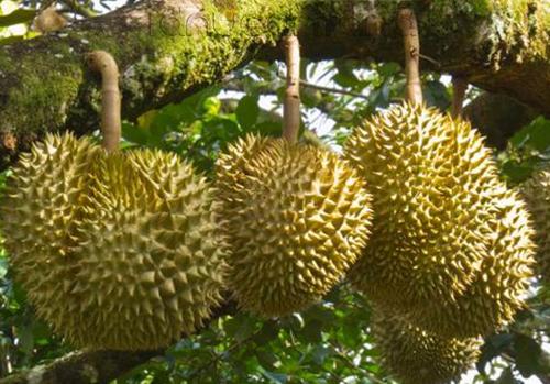 Wisata Kampung Durian Jombang, Jawa Timur 2