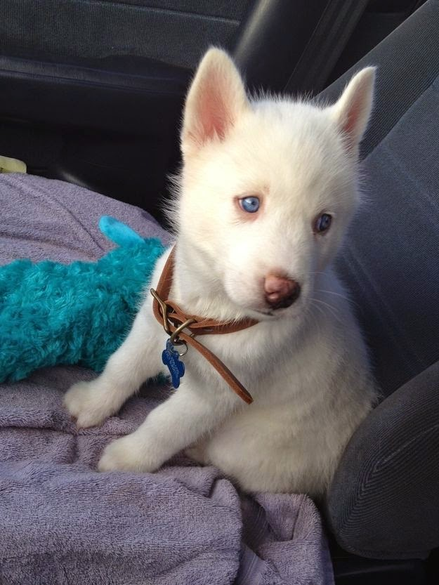 Brady :) my little Siberian Husky sweetheart!