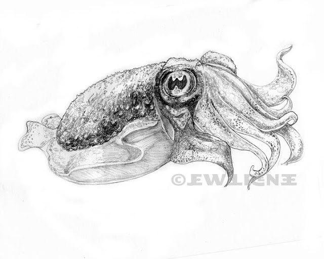 Jewel Renee Illustration: Cuttlefish Pencil Drawing