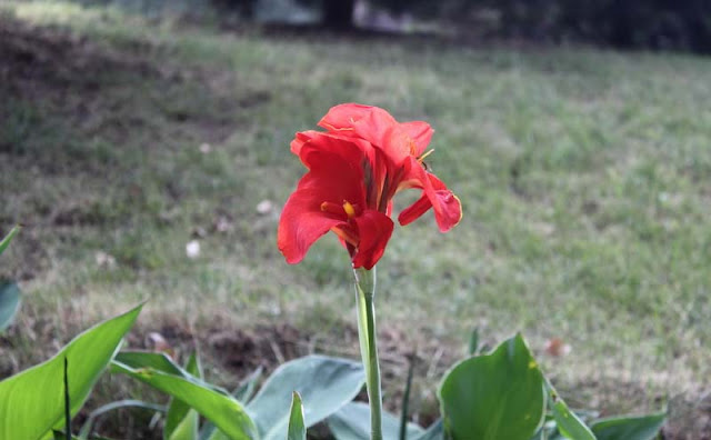 Canna Flowers Pictures