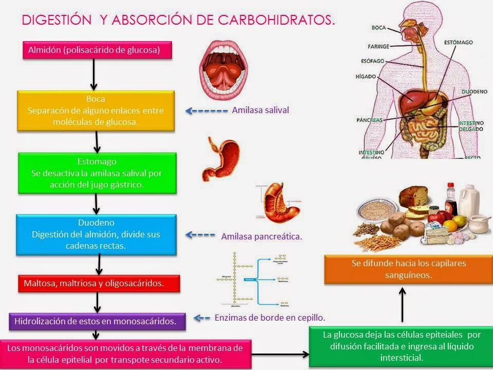 Digestion y absorcion de carbohidratos lipidos y proteinas
