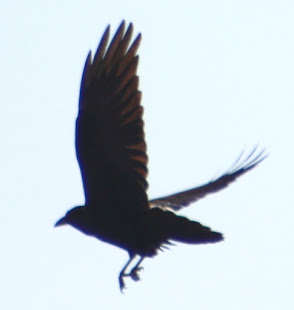 Crow flying around my house.