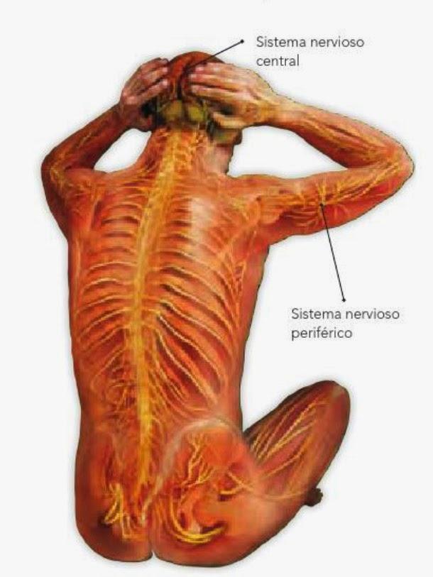Ciencias Naturales : Tema 1: Coordinación y defensa del cuerpo humano.