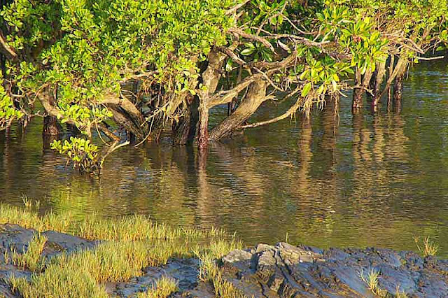 mangrove, trees, river, reflection