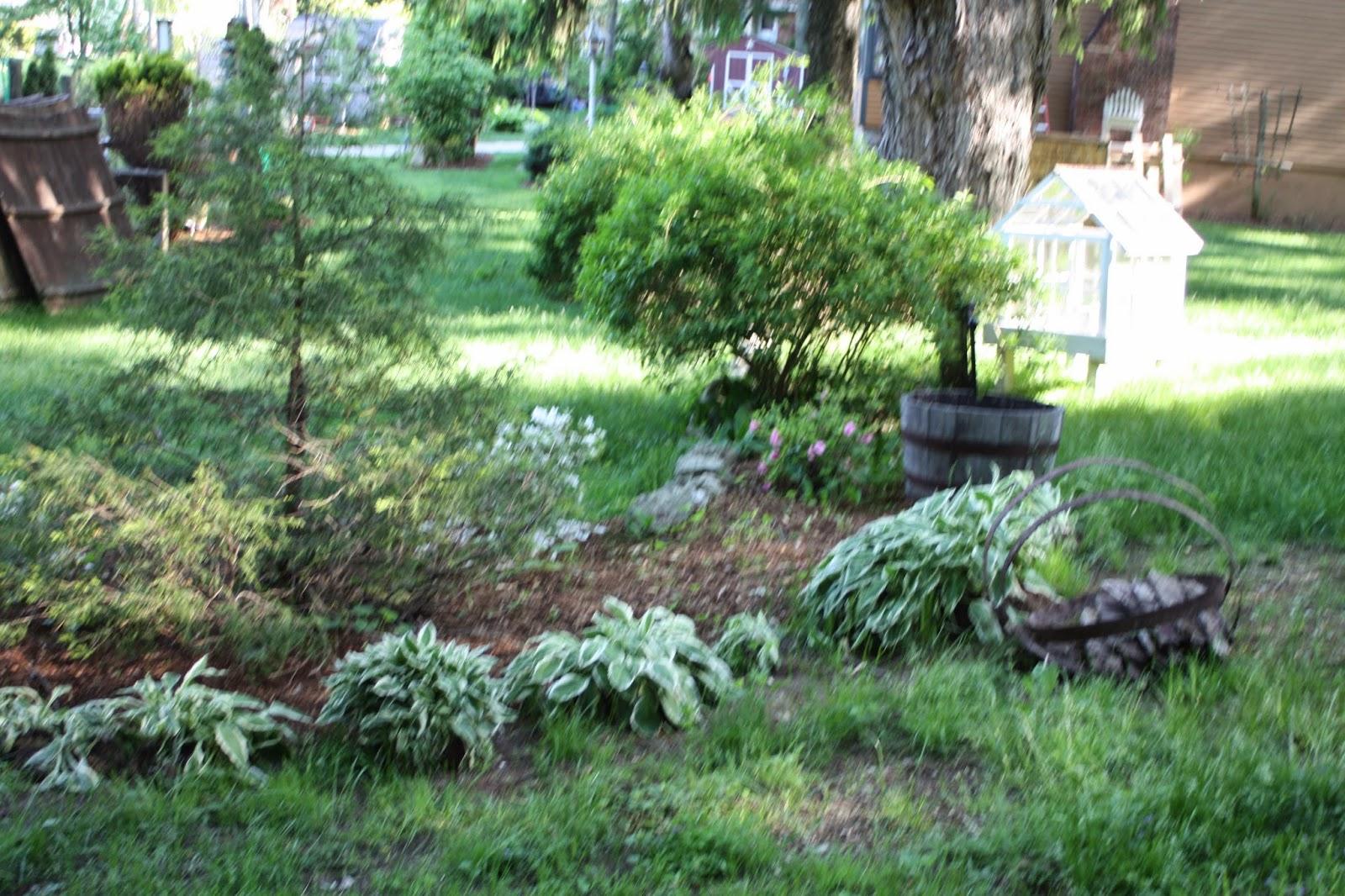 garden hostas plants