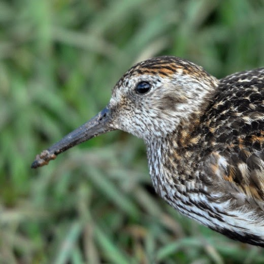 young male Dunlin