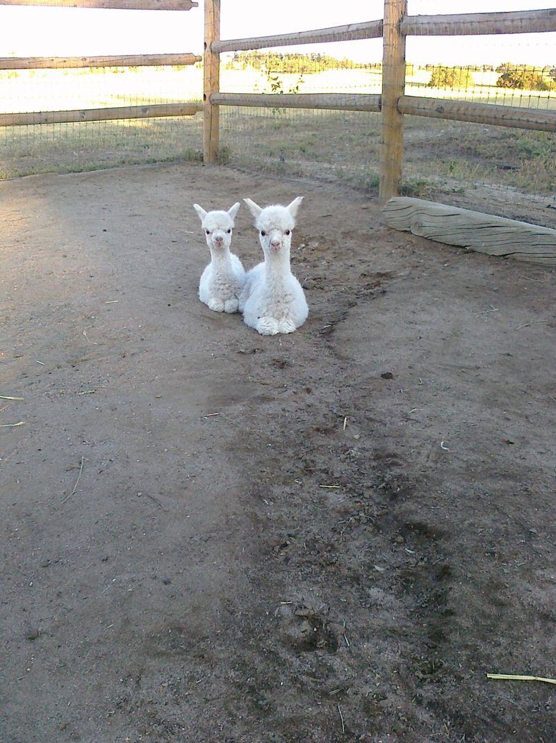 funny animal pics, animal photos, twin baby alpaca