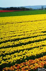 Les tulipes du pays de Lure, Alpes de Haute Provence