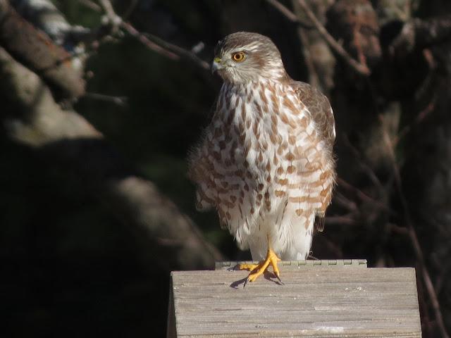 hawk on feeder
