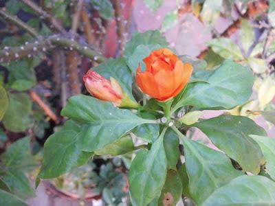 Bunga Jarum Tujuh Bilah