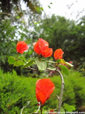 Red - Orange Bougainvillea