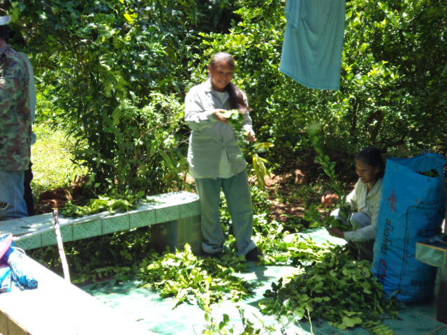 y dishes ciejay likes it when they come to gather the fresh young leaves they pay her have you ever tried or cooked with the makroot leaves if not - Kaffir Lime Tree