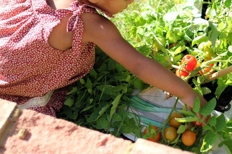 Summer dress harvesting tomatoes