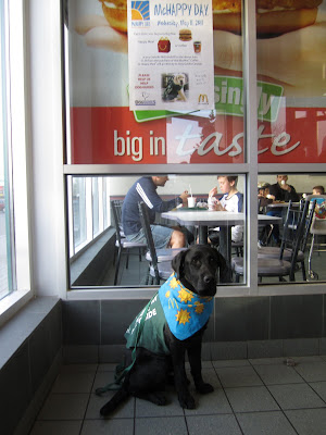 black lab puppy Romero is sitting on the greenish tile floor in the entrance to a McDonalds restaurant. He is wearing his green Future Dog Guide jacket, a green leash, and a bright blue bandana with yellow suns and a McDonalds M on it. Romero is in full working mode - sitting nicely and staring seriously into the camera. Behind Romero is a large window covering most of the wall, an through it you can see people sitting at tables enjoying their dinner. In the top pane of the window is a small white poster with a picture of a cute yellow lab in a green jacket, advertising for McHappy day.