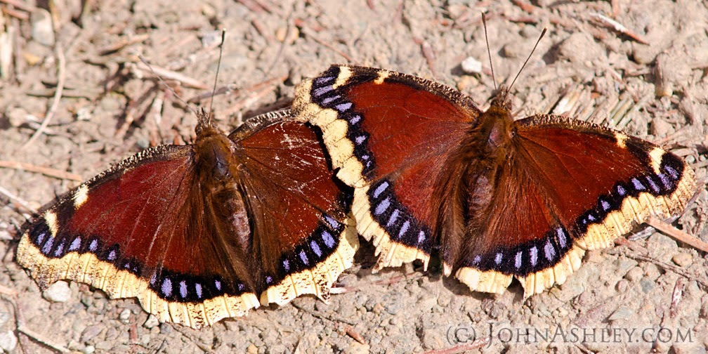 Mourning Cloak butterflies (c) John Ashley