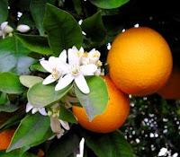 Il profumo delle arance di Valona - il libro di Francesca Masotti
