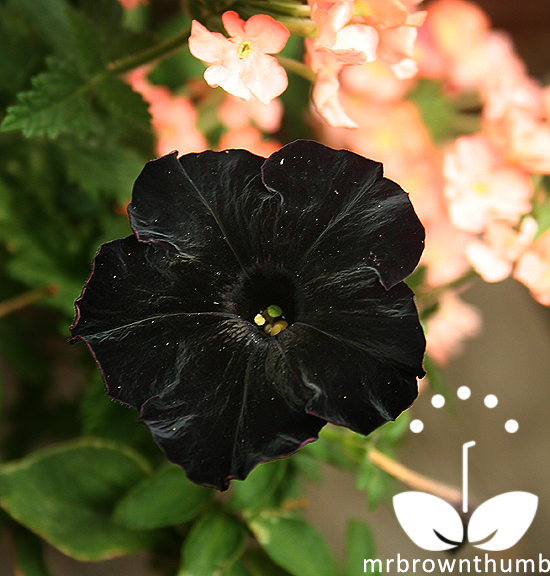 Petunia Black Cat, black garden flower