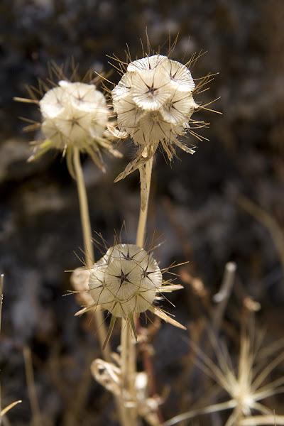 Lomelosia-stellata