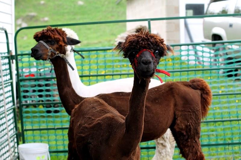 naked alpacas!