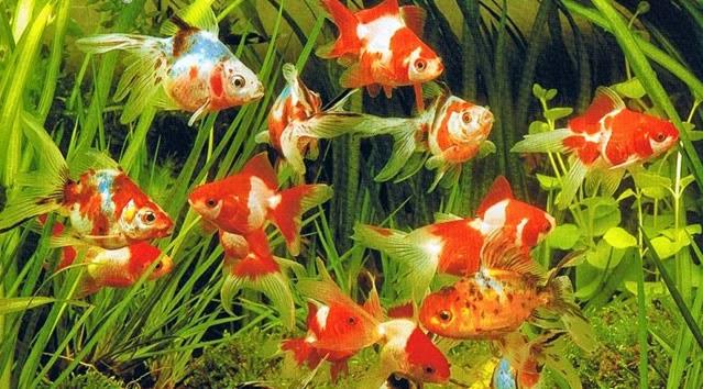 Club acuaristas bragado tipos de acuarios for Acuarios ornamentales