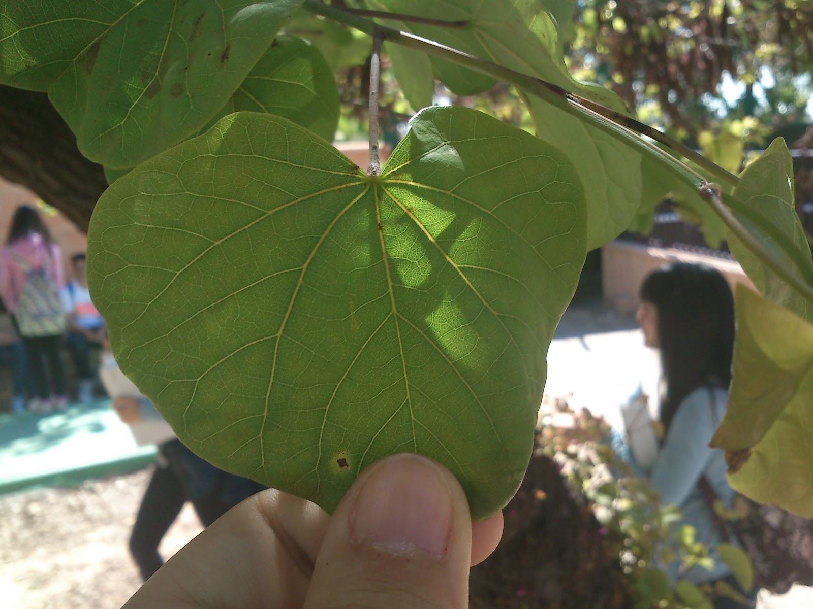 Arboles nestor for Arboles de hoja perenne que crece rapido
