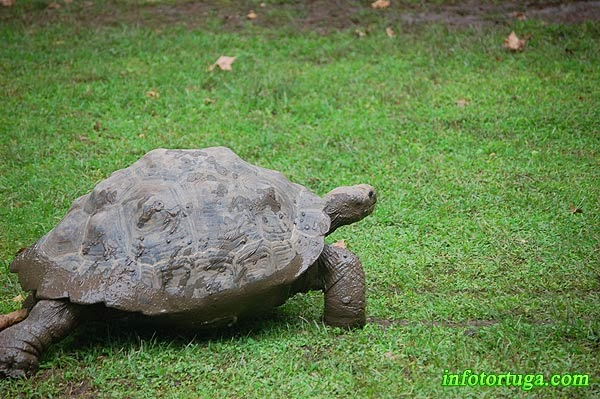 Tortuga de las Galápagos (Chelonoidis nigra)