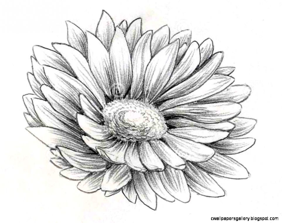 Daisy Flower Pencil Drawing Sketch Coloring Page