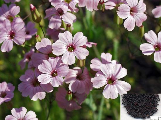 Vaccaria segetalis (Neck.) Garcke (Fam. Caryophyllaceae)