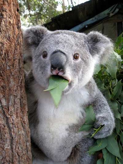 http://3.bp.blogspot.com/-VabL4xEhBNQ/UVyErPKEOcI/AAAAAAABJS8/2gKN2A8D8Uo/s1600/koala.jpg