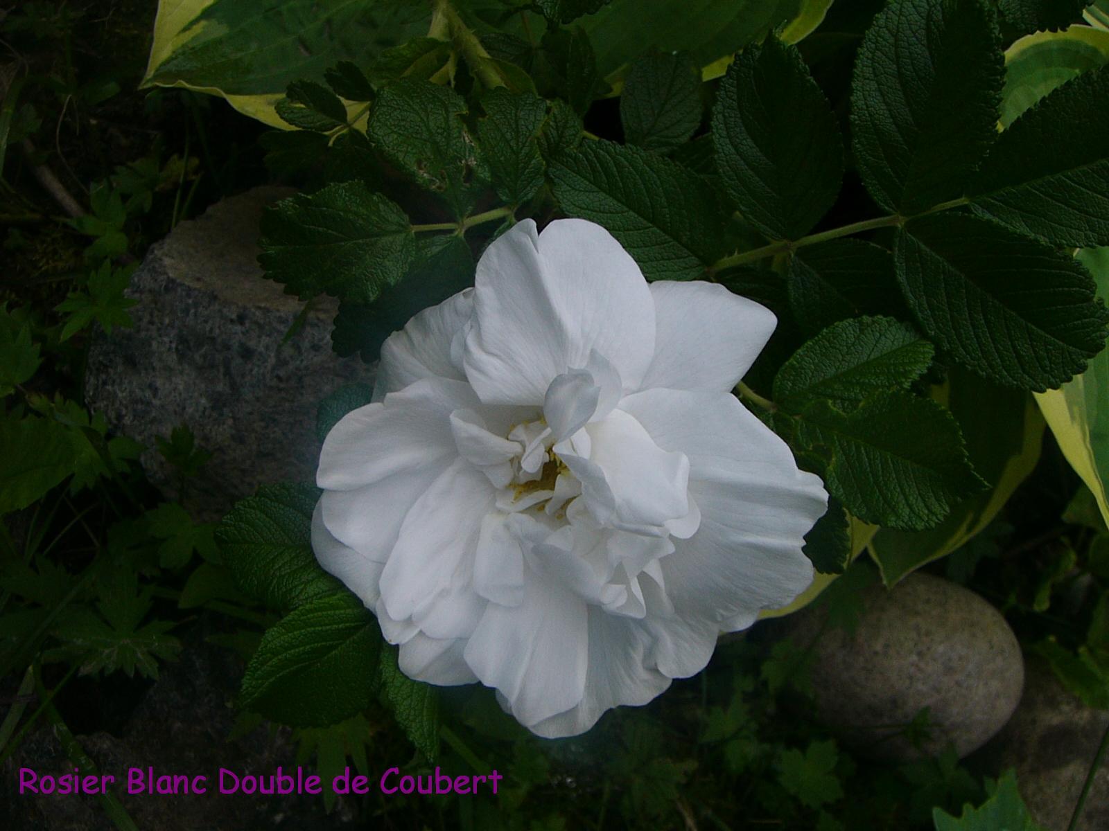 Le paradis floral de caroline rosier rugueux blanc - Rosier mange par des chenilles ...
