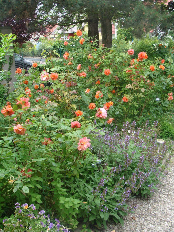 mein waldgarten rosen im letzten jahr um die gleiche zeit. Black Bedroom Furniture Sets. Home Design Ideas