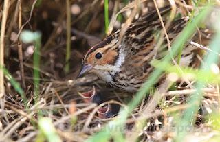 Птенцы овсянки-крошки