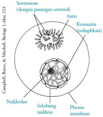 fase G2 interfase akhir membran inti sel