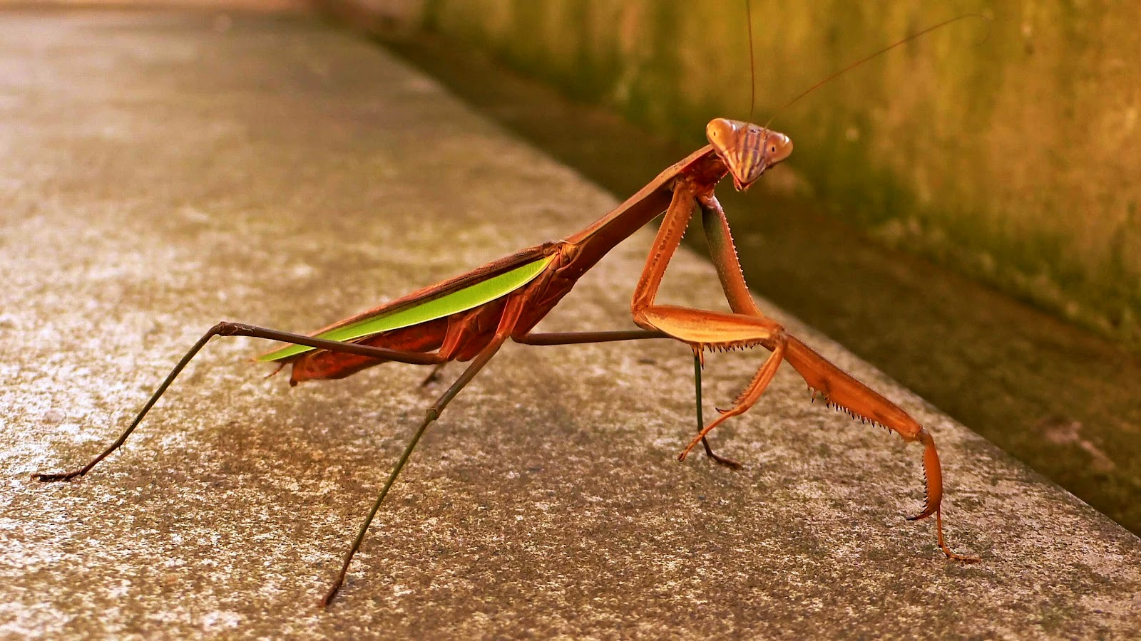 Praying Mantis Wallpapers | Animal Literature