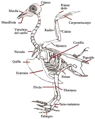 Ilustración del esqueleto óseo de un ave señalando sus partes