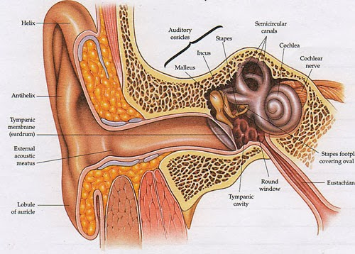 Ear outer anatomy