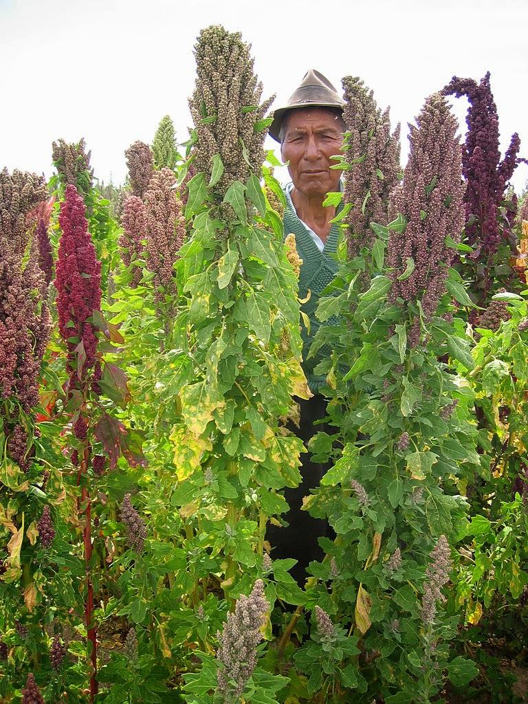 Beneficis nutricionals de la quinoa org nic centre for Plante quinoa
