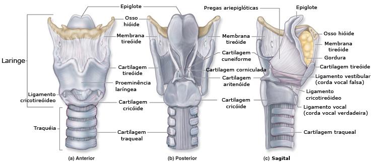 Fonoaudiología**: Membranas, Ligamentos y Articulaciones de la laringe