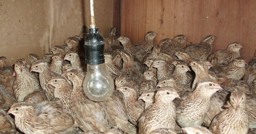 Image Result For Kandang Burung Puyuh Jual Puyuh Bibit Puyuh Telur